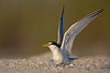 Least Tern, breeding plumage (Treasure Island)