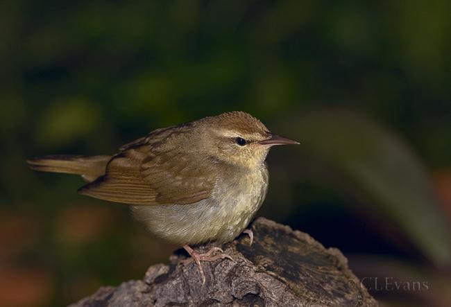 Swainson's Warbler (Largo)