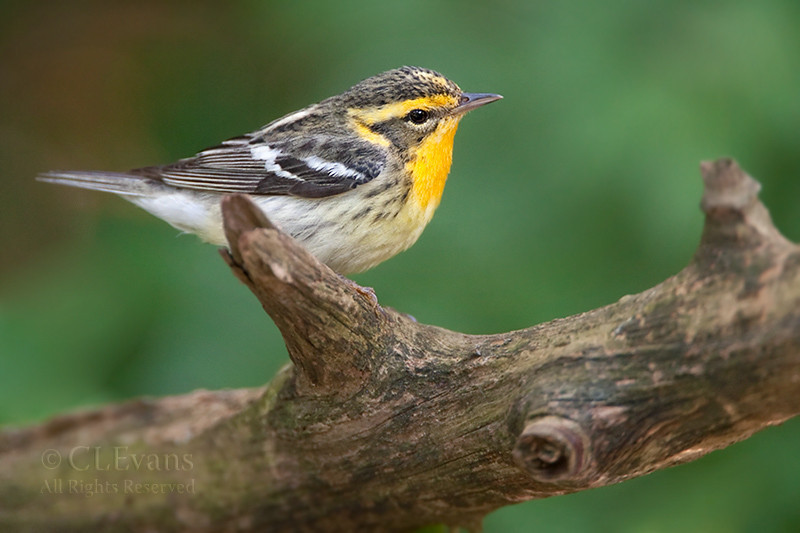 Blackburnian Warbler (female) (Largo)