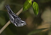 Black-and-white Warbler (male) (Largo)