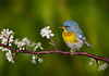 Northern Parula Warbler/ blooming Flatwoods Plum (Largo)
