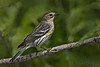 Yellow-rumped Warbler (Largo)