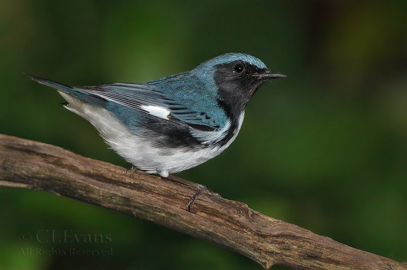 BLack-throated Blue Warbler (Largo)