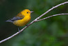 Prothonotary Warbler (Largo)