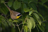 Common Yellowthroat (male) (Largo)