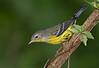 Magnolia Warbler (Largo)