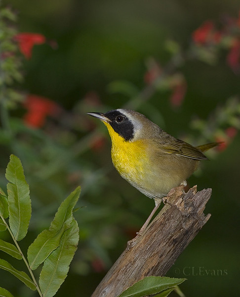 Common Yellowthroat male (Largo)