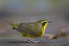 Kentucky Warbler (Largo)