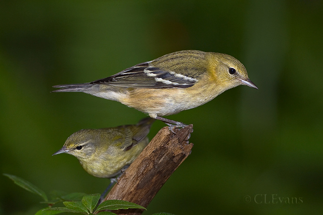 Bay-breasted Warbler with Tennessee Warbler (Largo)<br /> <br /> I like seeing the size difference between these two warblers in this image.