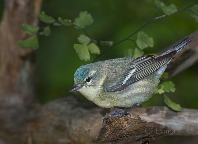 Cerulean Warbler - female (Largo)