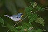 Northern Parula (Largo)