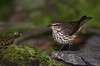 Northern Waterthrush (Largo)