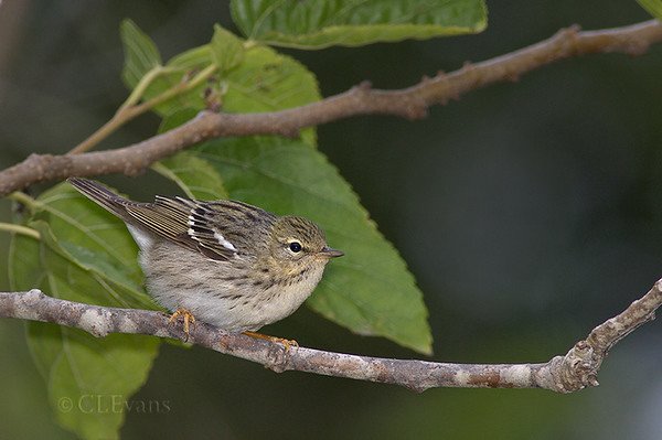 Blackpoll Warbler - female (Ft. De Soto Park, St. Petersburg)