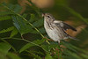 Blackpoll Warbler caught a little spider (female) (Largo)