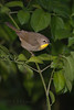 Common Yellowthroat (Female) (Largo)