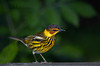 Cape May Warbler, male (Largo)