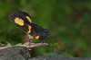 American Redstart (male) (Largo)