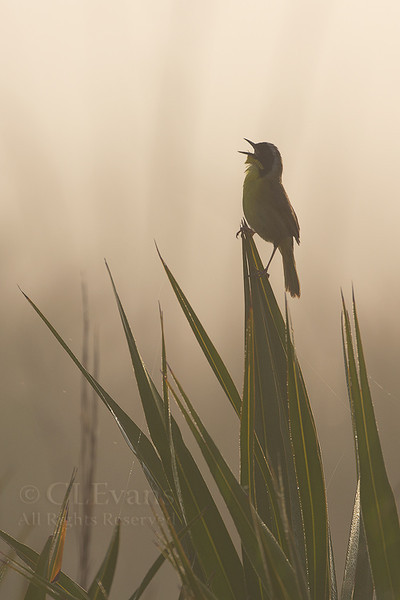 Singing in the Fog