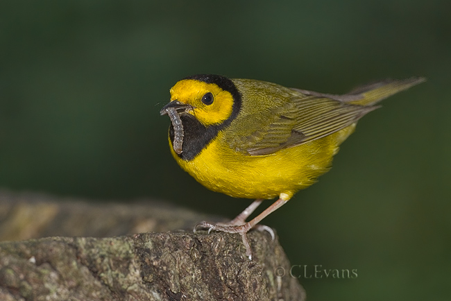 Hooded Warbler with lunch (Largo)