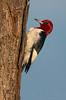 Red-headed Woodpecker (Polk County)