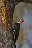 Pileated Woodpecker, male (Pollk County)