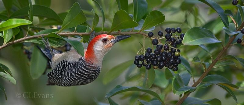 Red-bellied Woodpecker on Marlberry tree (Largo)
