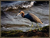 Little Blue Heron--Sunset in Merritt Island, Florida