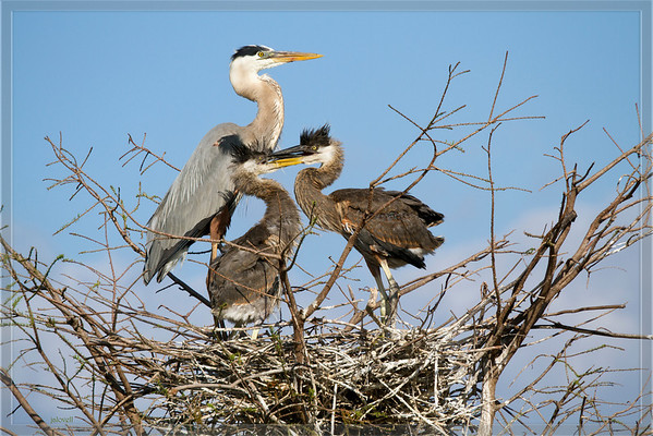 Sibling rivalry - Great Blue Heron chicks...