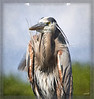 Great Blue Heron Portrait: This Great Blue looked so stern and strong I could only let it speak for itself as a  portrait. I understand that in Indian lore the bird is considered a symbol of self-reliance and wisdom. For some reason the colors and structure of the plumage and the stern visage brought to mind a Seminole Indian Chief.