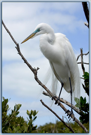 Great Egret (American Egret) in Breeding Plumage. The beautiful green around the eyes of the bird is a breeding season change as well....Key Largo, Florida