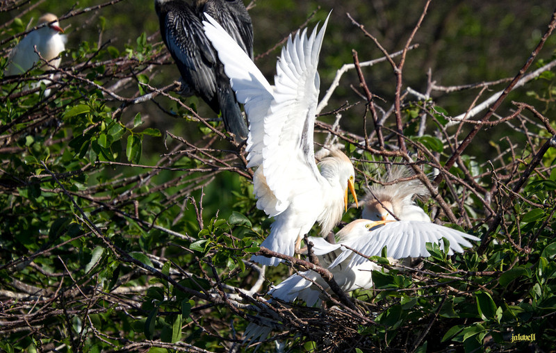 Making a Pass - Cattle Egrets Mating