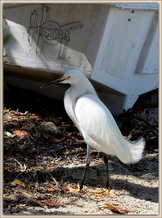 """Ultra Hot Bird""......Snowy Egret strutting his stuff next to a derelict boat hull curiously adorned with words ""Ultra Hot""....Key Largo, Florida"