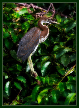 Young Tri-color Heron has greenish yellow legs, yellow eyes and a warm chestnut coloration of the head, back of neck and distributed among the slate blue back feathers.
