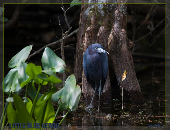 Little Blue Heron in Big Cypress-Sweetwater Strand area