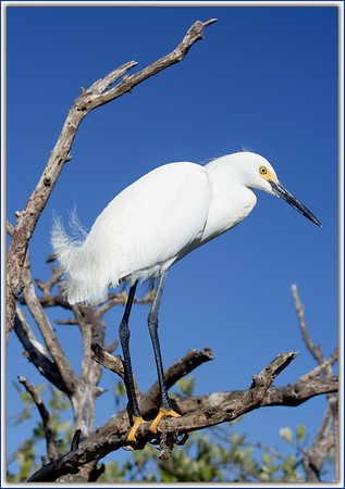 Snowy Egret in Nesting Plumage....Key Largo, Florida
