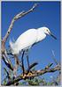Snowy Egret in Nesting Plumage....Key Largo, Florida