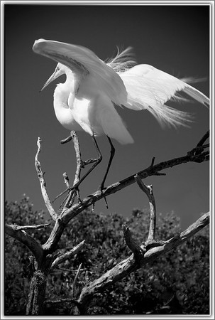 Great Egret (American Egret)...Key Largo, Florida