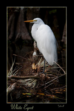 Great White Egret - Big Cypress Preserve, Florida<br /> Egret perches on fallen limb laden with gray/green tillandsia plants.