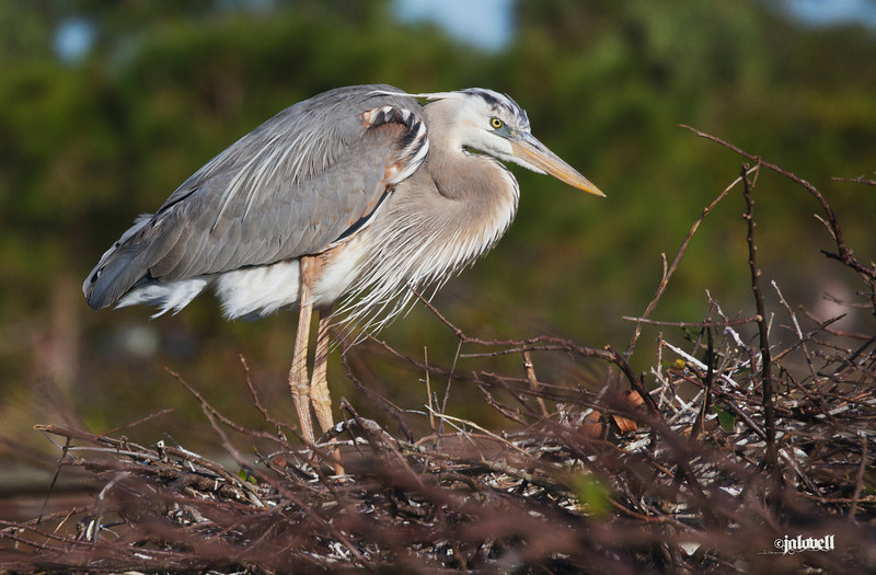 Wurdemann's Heron at its nest, its beautiful colors highlighted by late afternoon sun.