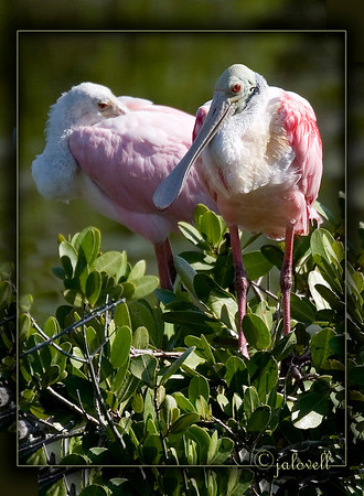 Roseate Spoonbills gather on the mangroves along Black Point Wildlife Drive in the Merritt Island National Wildlife Refuge.