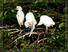 A trio of cattle egret chicks cleaning up after a feeding.