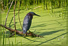 Green Heron searches the duckweed carpeted wetlands for food. Its colors contrast beautifully against brilliant yellow greens and a geometry of shadows courtesy of the descending sun.
