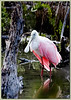 Roseate Spoonbill...Key Largo, Florida<br /> A glimpse of this beautiful pink water bird on a cool April morning was a rare delight. The ruby red eyes of the adult bird are amazing to behold!!