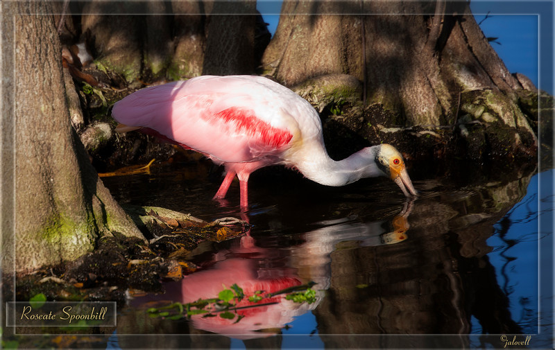 Roseate Spoonbill in late day light at the Wakodahatchee Wetland in Delray Beach, Florida. The park has a lovely variety of wild birds, including this gorgeous spoonbill in its mating colors.