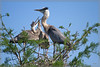 #1:Parent arrives at nest late afternoon with fish in its gullet. <br /> This and the next few pictures were selected to show Great Blue Heron Feeding activity. The feeding time is very active and agressive as the nestlings grow bigger and ever more voracious. Both parents are share the feeding duties and are quite diligent. Its a rough and tumble process with much sibiling rivalry. Generally first hatched is the biggest and grows the fastest due to that first position.