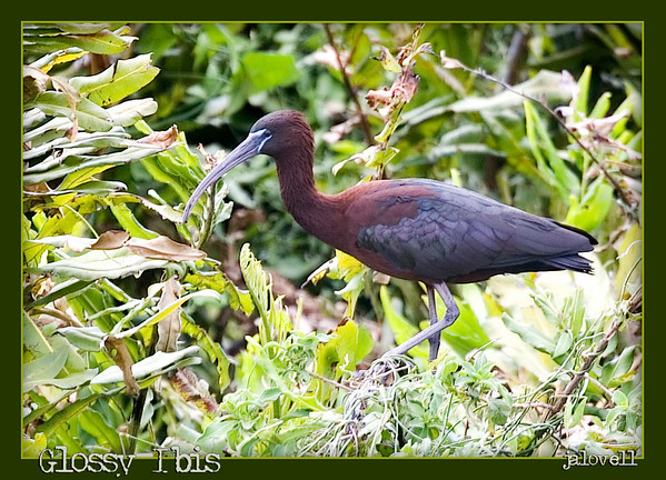 Glossy Ibis: This is the first Glossy Ibis I have seen and while a distant shot in very windy conditions, I thought it worth cropping in for a better look. I did not realize  how pretty the colors of a Glossy Ibis are. At Ft.  Pierce where you take the Toll Plaza onto the Turnpike the road loops around a habitat with nesting birds where this bird was shot.