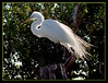 Great Egret delicately adorned with mating plumage.....Key Largo, Florida