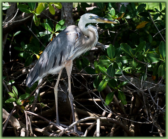 Wurdemann's Heron: Flamingo, Everglades National Park, Florida<br /> Once thought to be a separate species from the Great Blue Heron, the Wurdemann's Heron is now considered a color variation of the Great Blue as is The Great White Heron. The Wurdemann's Heron is distinguished from the Great Blue primarily by its white head absent the  distinct black marking which sweeps out from above the eye of the bird toward the back of its head. This bird was found at the entrance to the Flamingo marina from the bay side. It stood among the mangrove prop roots with the lovely patterns of the morning light filtering through the foliage giving the bird a silky, ethereal sheen. I found it remarkably lovely.