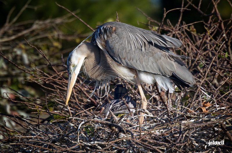 Wurdemann's Heron tending its nest:<br /> Coloration differences between the Great Blue Heron and the Wurdemann's include a much whiter head with white plumes instead of the stark black. Also, if you compare the underbelly soft downy feathers..these are white compared the the same area on the bird in image 182 on this page. The black shoulder patches are also different being mixed with black, white and rust feathers.  The big herons are always lovely to see. The Great Blue, Great White, and Wurdemann's were once considered different species but today are recognized as the same.