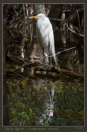 White Egret perched in the Big Cypress Swamp deep within layers of trees. Mostly I see the birds in open areas but sometimes  they settle into denser places where you peer into a shadowy haven and wonder about their wing span getting in and out.